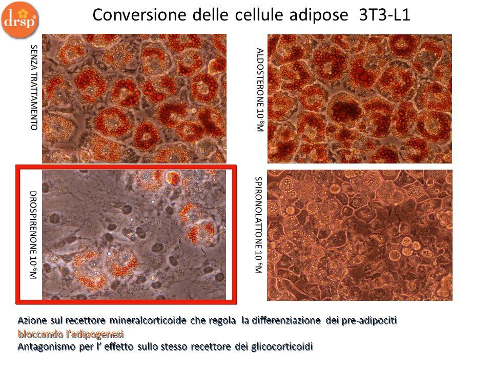 Conversione delle cellule adipose 3T3-L1