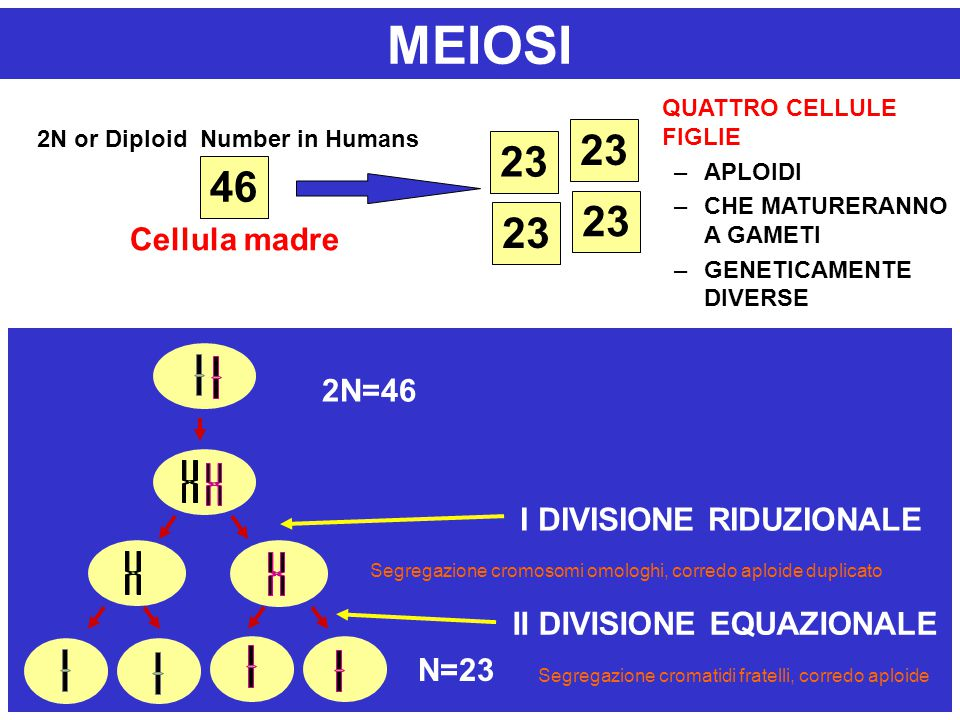 2N or Diploid Number in Humans