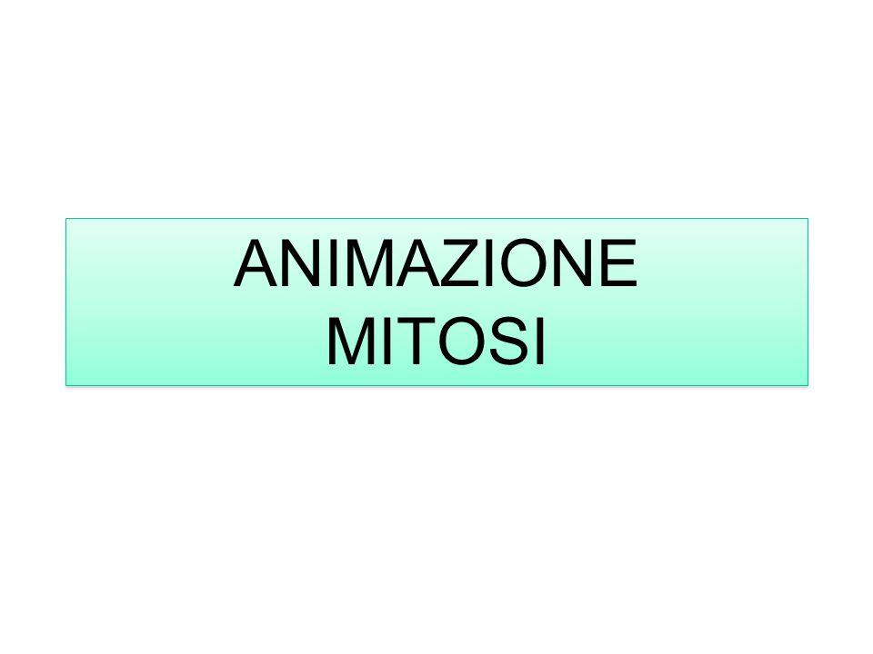 ANIMAZIONE MITOSI