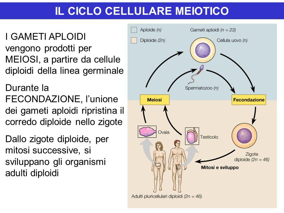 IL CICLO CELLULARE MEIOTICO