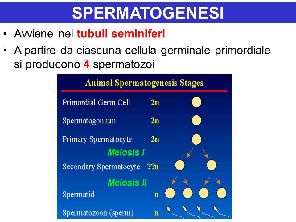 SPERMATOGENESI Avviene nei tubuli seminiferi