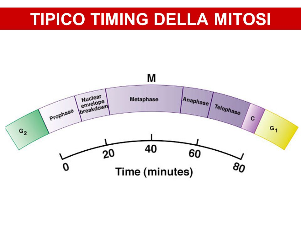 TIPICO TIMING DELLA MITOSI