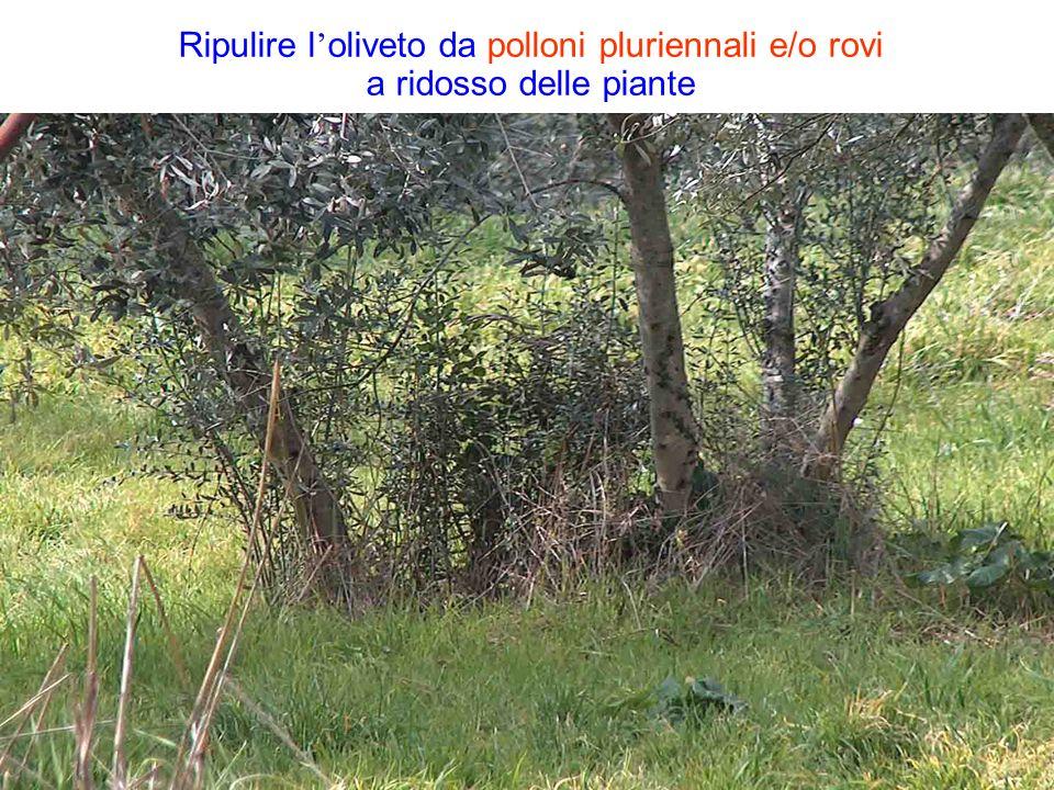 Ripulire l'oliveto da polloni pluriennali e/o rovi