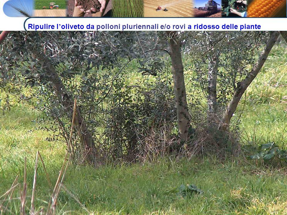 Ripulire l'oliveto da polloni pluriennali e/o rovi a ridosso delle piante