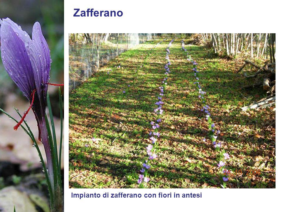 Zafferano Impianto di zafferano con fiori in antesi