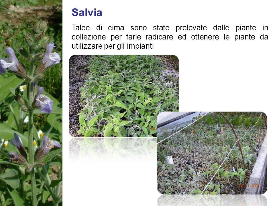 Salvia Talee di cima sono state prelevate dalle piante in collezione per farle radicare ed ottenere le piante da utilizzare per gli impianti.