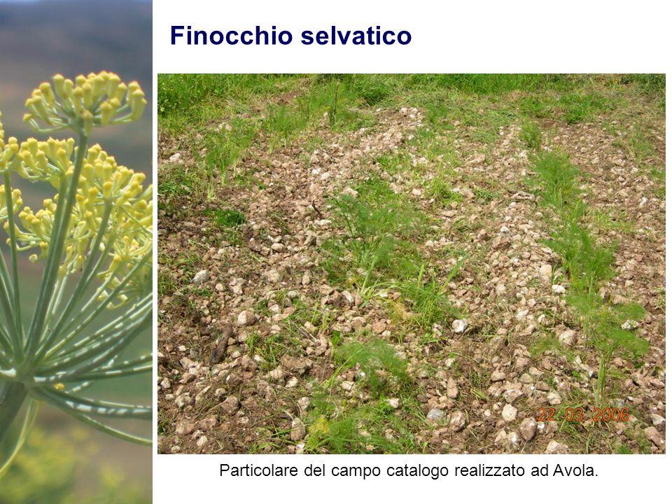 Finocchio selvatico Particolare del campo catalogo realizzato ad Avola.