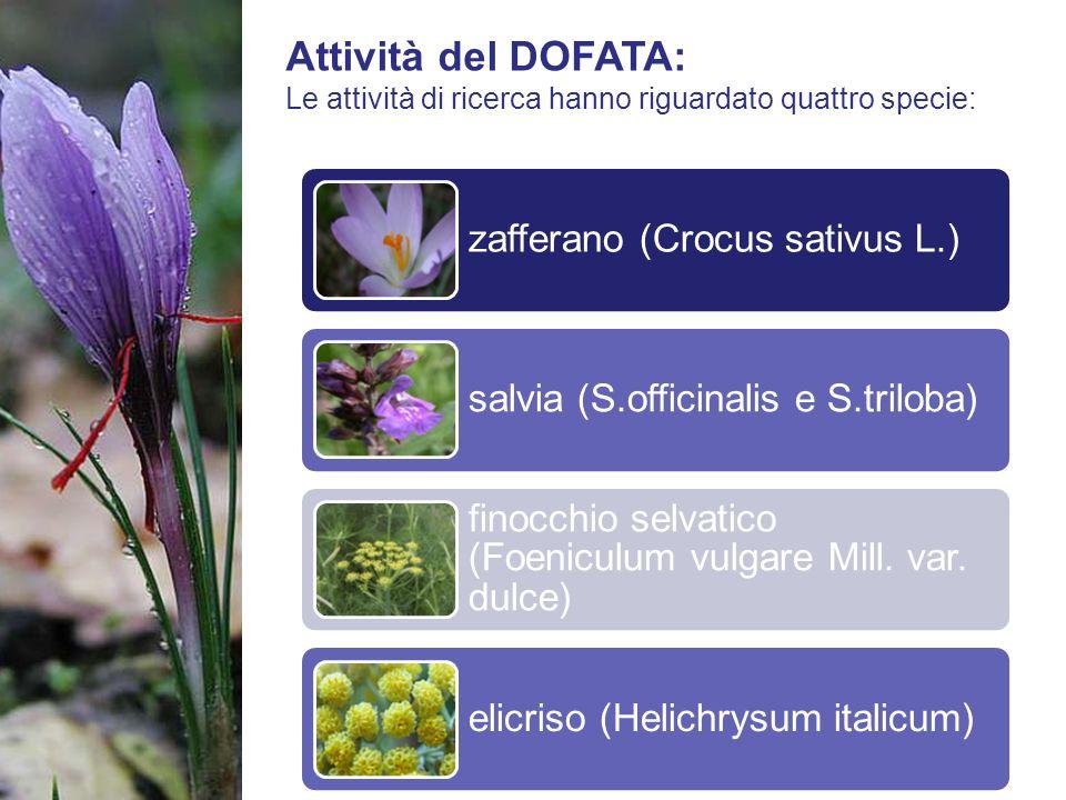 Attività del DOFATA: Le attività di ricerca hanno riguardato quattro specie: zafferano (Crocus sativus L.)
