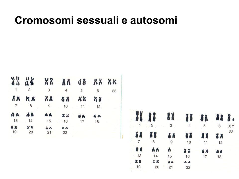 Cromosomi sessuali e autosomi