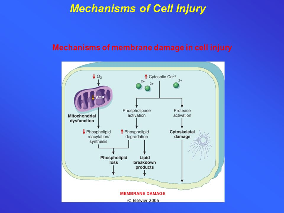 Mechanisms of Cell Injury Mechanisms of membrane damage in cell injury
