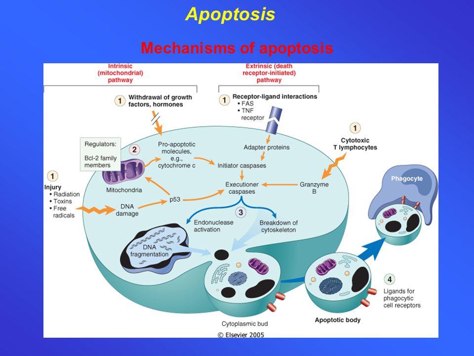 Mechanisms of apoptosis