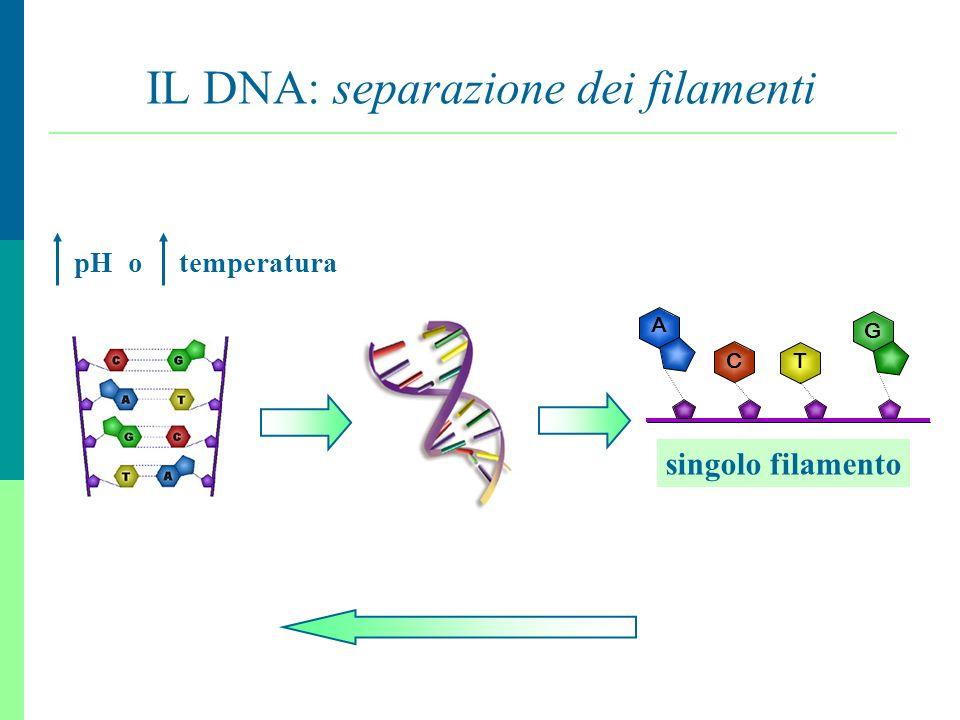 IL DNA: separazione dei filamenti