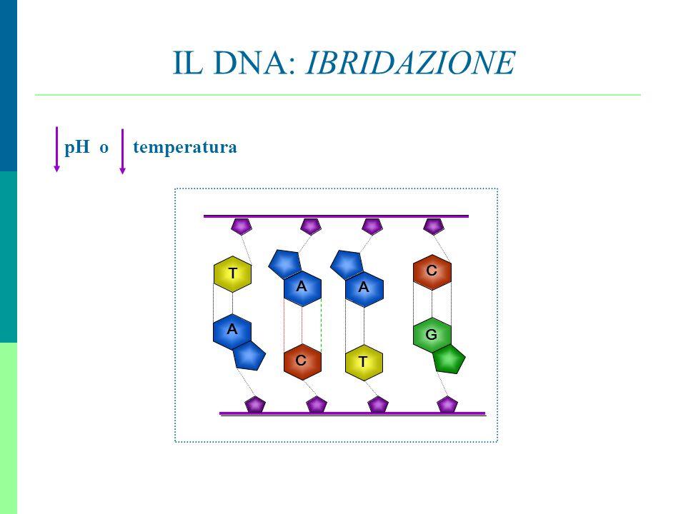 IL DNA: IBRIDAZIONE pH o temperatura A C T A G C T