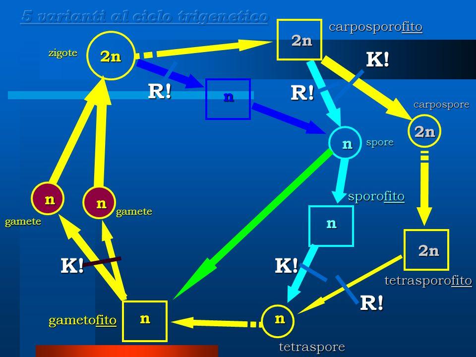 K! R! R! K! K! R! 5 varianti al ciclo trigenetico 2n 2n n 2n n n n n