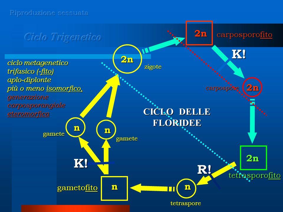 K! K! R! Ciclo Trigenetico 2n 2n 2n CICLO DELLE FLORIDEE n n 2n n n