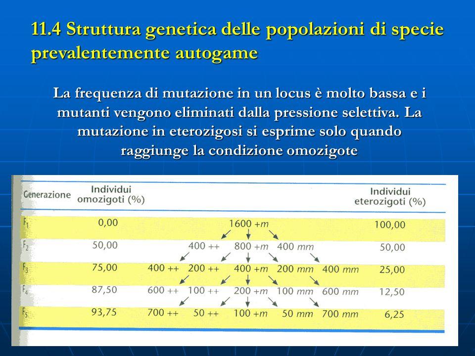 11.4 Struttura genetica delle popolazioni di specie prevalentemente autogame