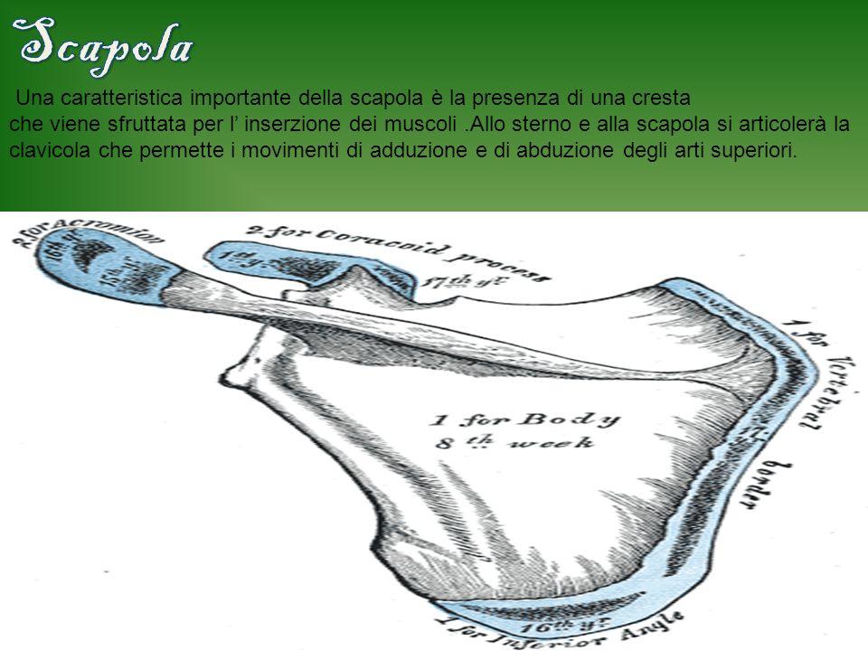 Scapola Una caratteristica importante della scapola è la presenza di una cresta.