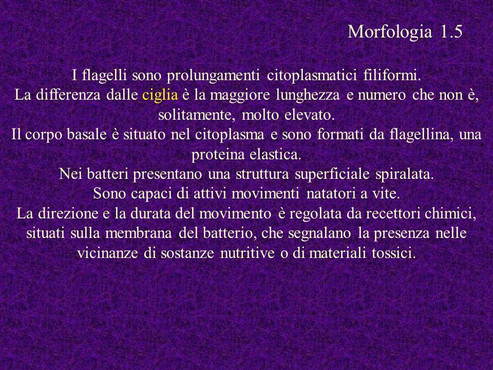Morfologia 1.5 I flagelli sono prolungamenti citoplasmatici filiformi.