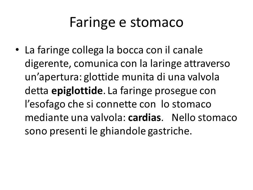 Faringe e stomaco