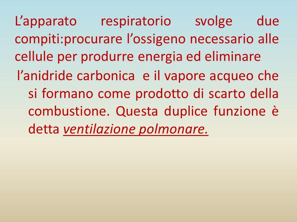 L'apparato respiratorio svolge due compiti:procurare l'ossigeno necessario alle cellule per produrre energia ed eliminare