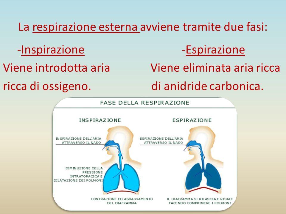 La respirazione esterna avviene tramite due fasi: