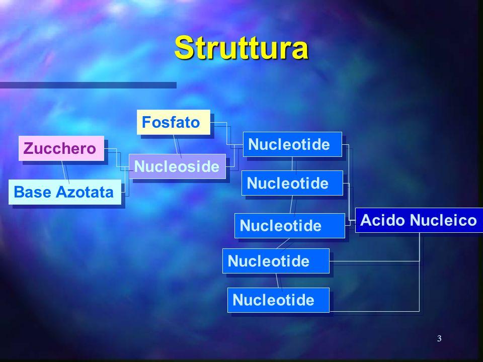 Struttura Fosfato Nucleotide Zucchero Nucleoside Nucleotide