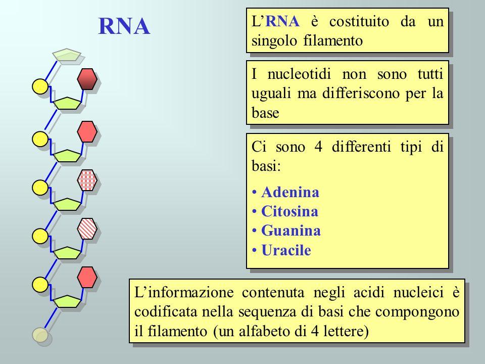 RNA L'RNA è costituito da un singolo filamento