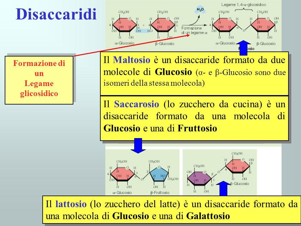 Disaccaridi Il Maltosio è un disaccaride formato da due molecole di Glucosio (α- e β-Glucosio sono due isomeri della stessa molecola)