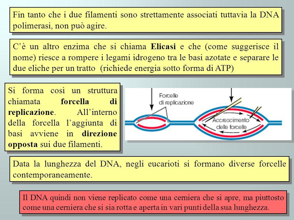 Fin tanto che i due filamenti sono strettamente associati tuttavia la DNA polimerasi, non può agire.