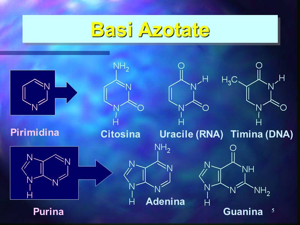 Basi Azotate Pirimidina Citosina Uracile (RNA) Timina (DNA) Adenina