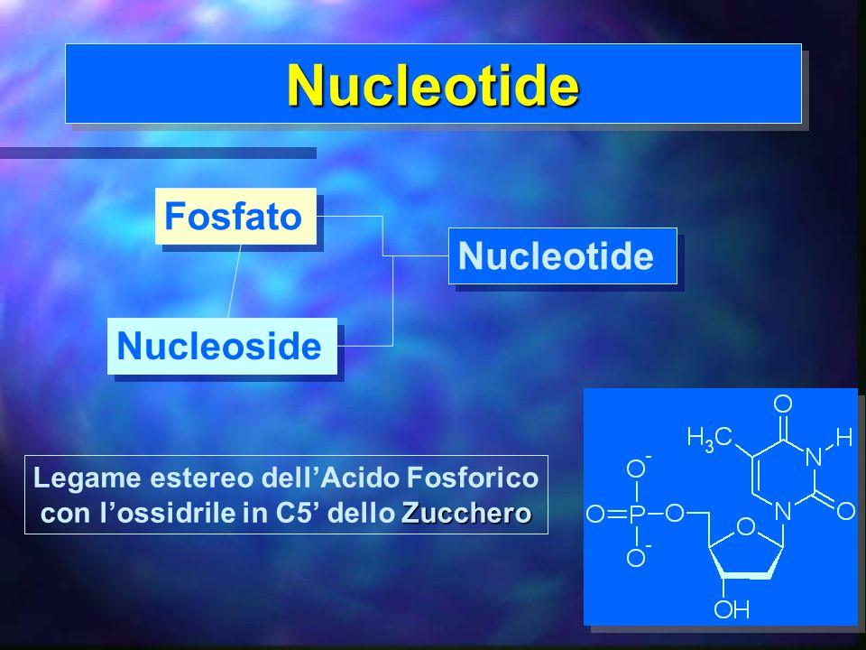 Nucleotide Fosfato Nucleotide Nucleoside