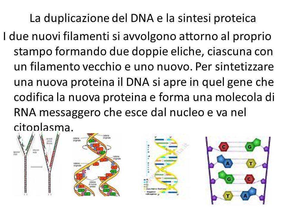La duplicazione del DNA e la sintesi proteica