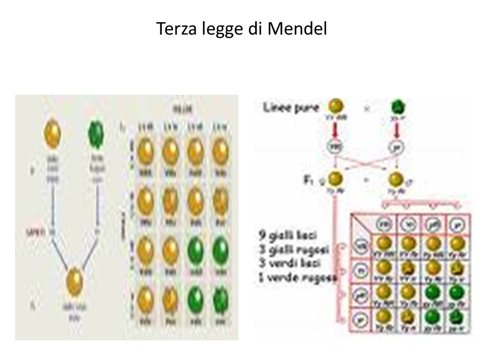 Terza legge di Mendel