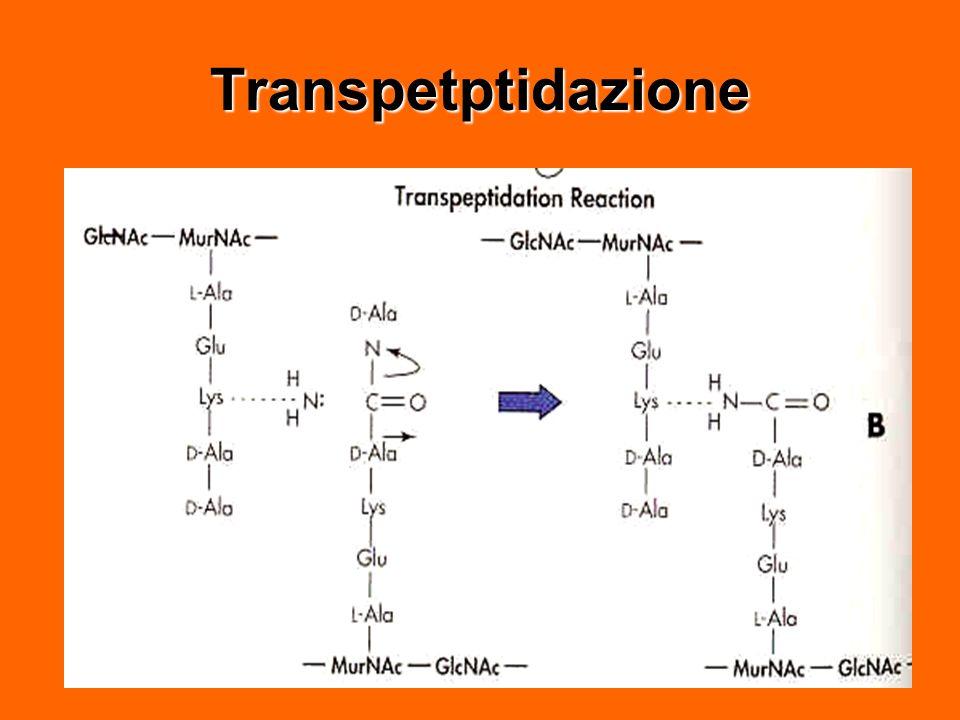 Transpetptidazione