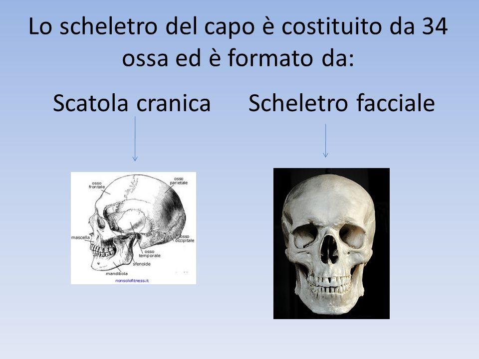 Lo scheletro del capo è costituito da 34 ossa ed è formato da: