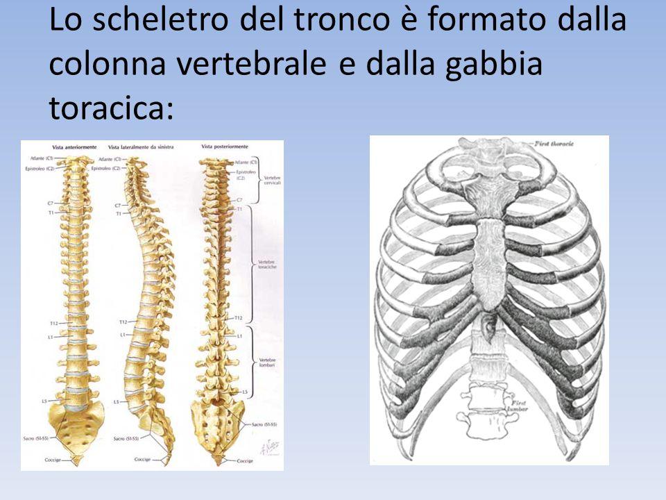 Lo scheletro del tronco è formato dalla colonna vertebrale e dalla gabbia toracica: