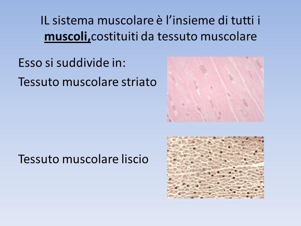 IL sistema muscolare è l'insieme di tutti i muscoli,costituiti da tessuto muscolare