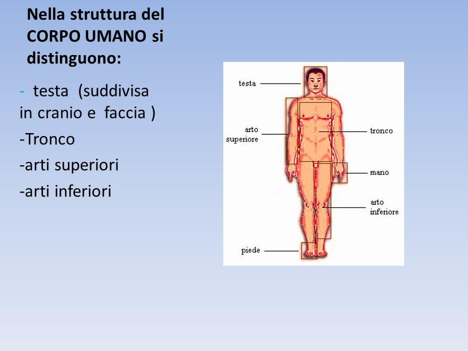Nella struttura del CORPO UMANO si distinguono: