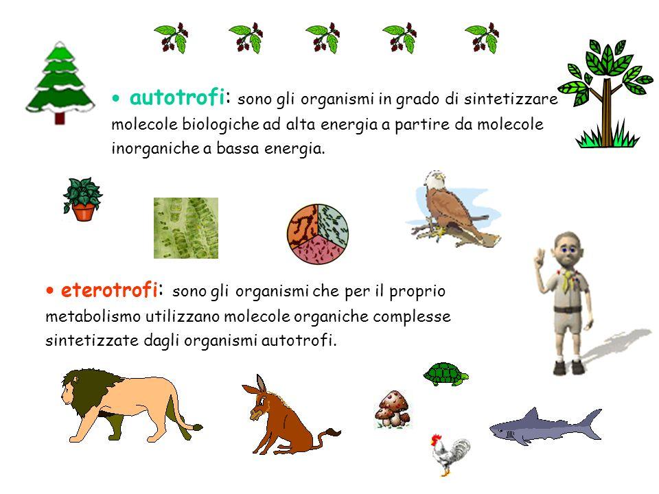 autotrofi: sono gli organismi in grado di sintetizzare molecole biologiche ad alta energia a partire da molecole inorganiche a bassa energia.
