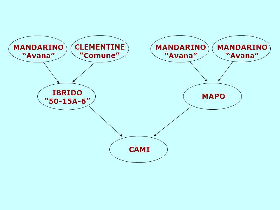 MANDARINO Avana CLEMENTINE Comune MANDARINO Avana MANDARINO Avana IBRIDO 50-15A-6 MAPO.