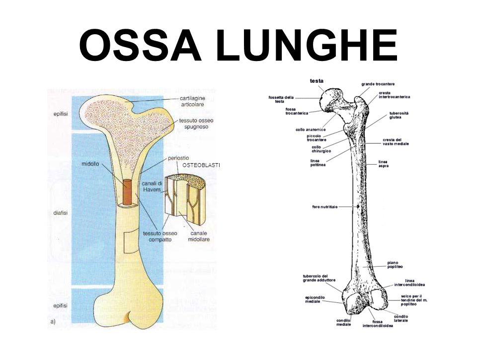 OSSA LUNGHE OSTEOBLASTI