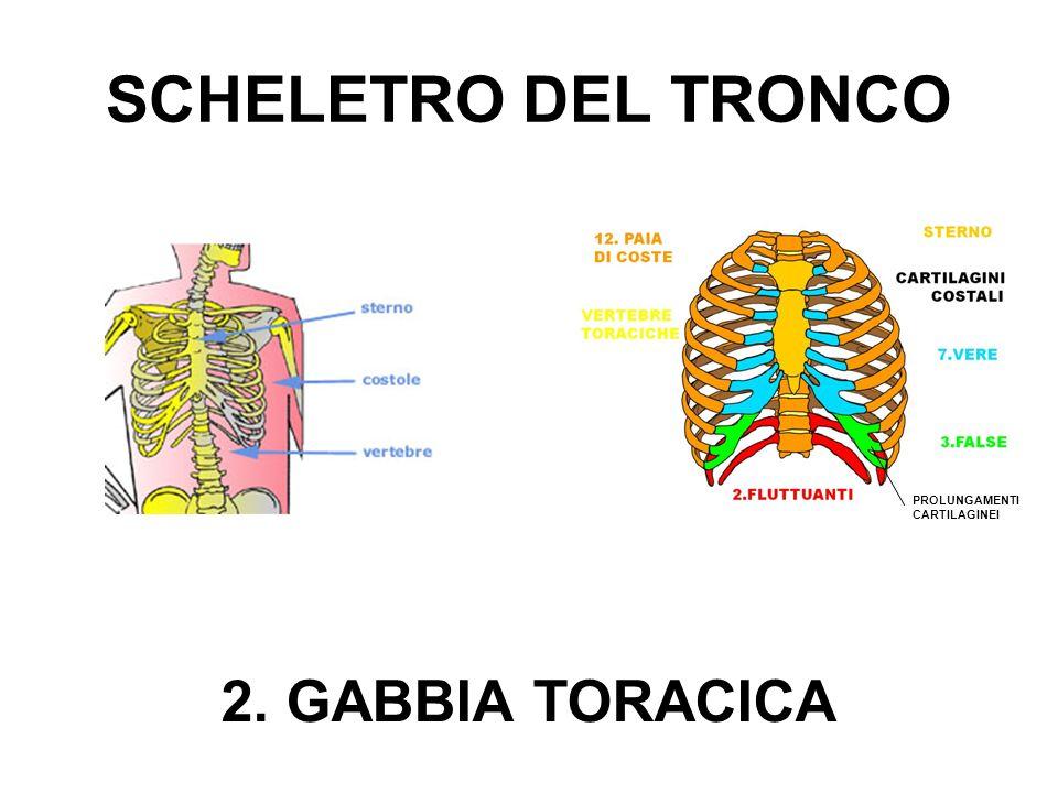 SCHELETRO DEL TRONCO PROLUNGAMENTI CARTILAGINEI 2. GABBIA TORACICA