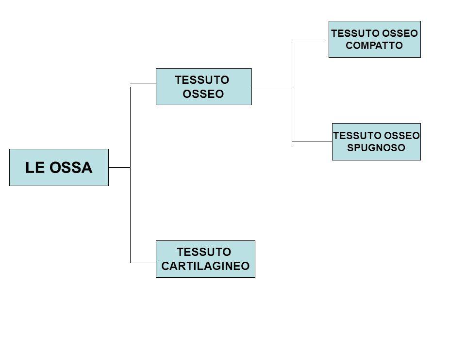 LE OSSA TESSUTO OSSEO TESSUTO CARTILAGINEO TESSUTO OSSEO COMPATTO