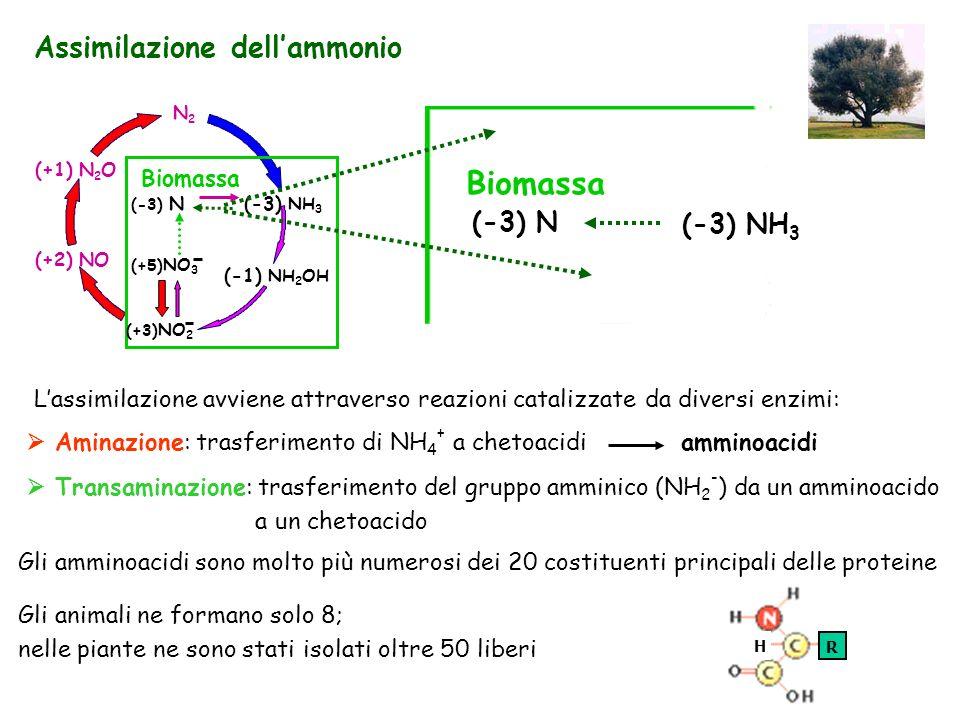 Biomassa Assimilazione dell'ammonio (-3) N (-3) NH3