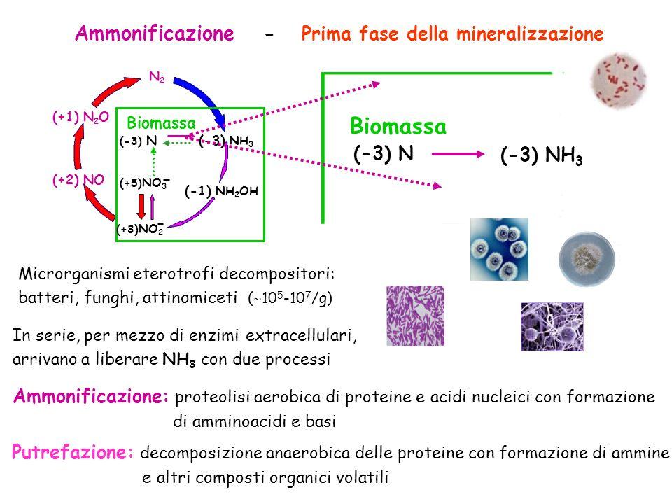 Biomassa Ammonificazione - Prima fase della mineralizzazione (-3) N