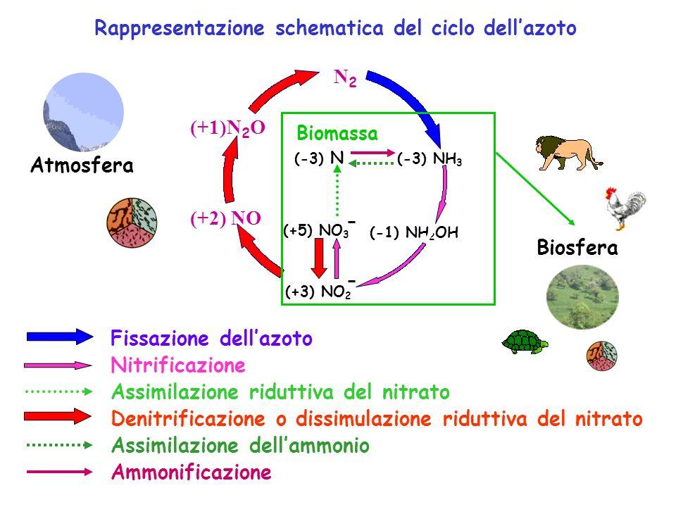 Rappresentazione schematica del ciclo dell'azoto