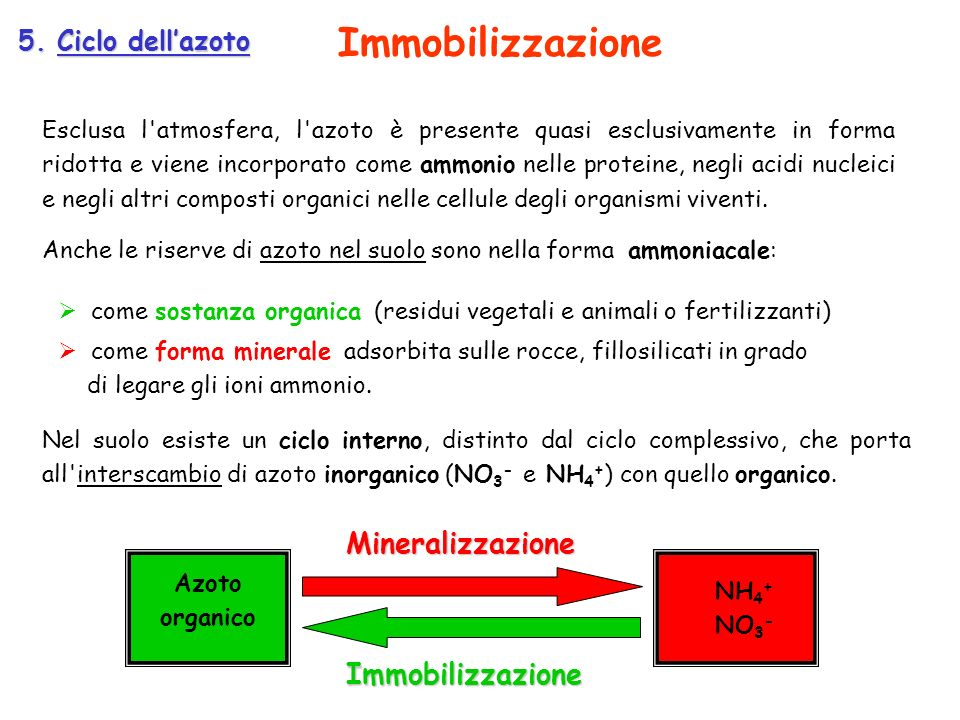Immobilizzazione Mineralizzazione Immobilizzazione 5. Ciclo dell'azoto