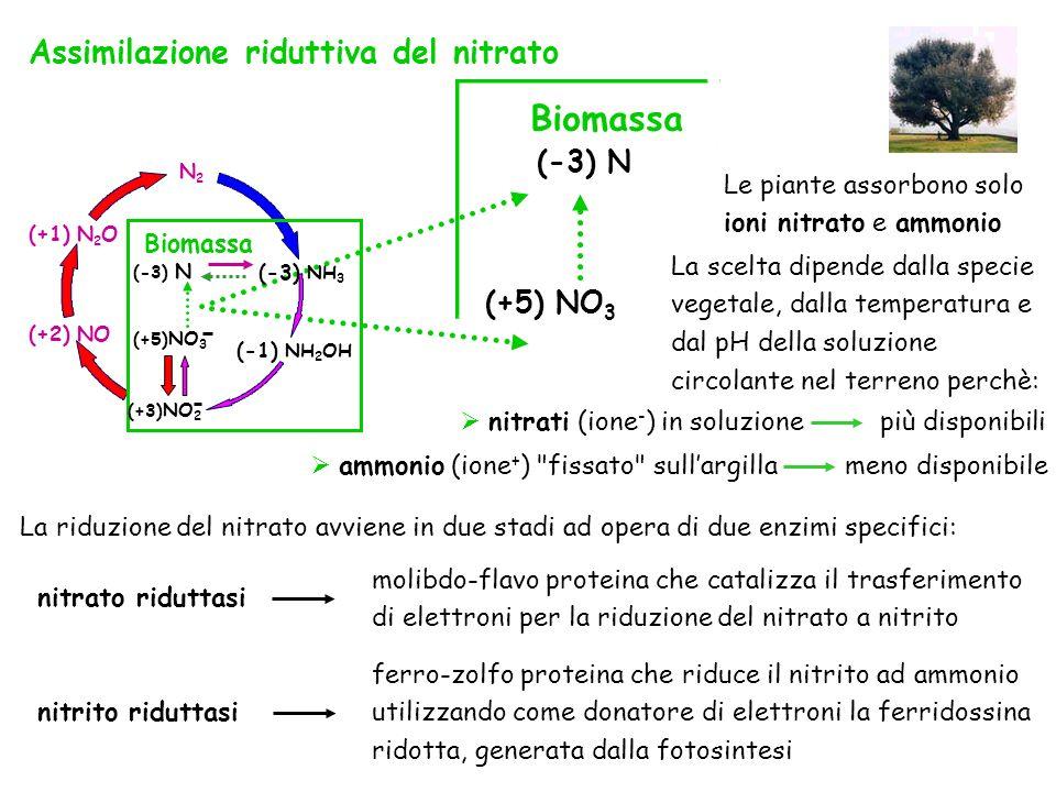 Biomassa Assimilazione riduttiva del nitrato (-3) N (+5) NO3