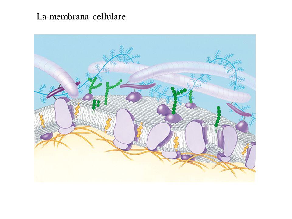 La membrana cellulare