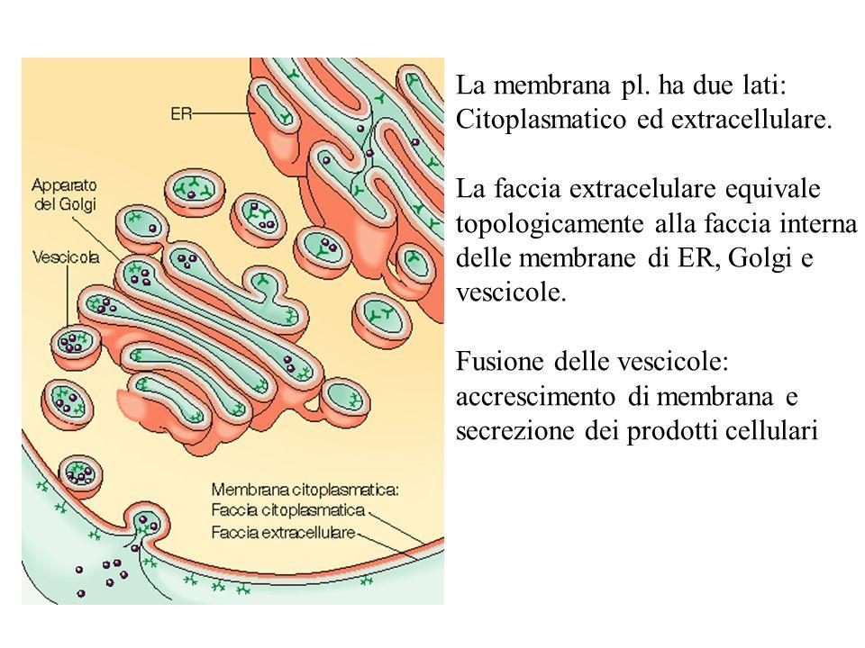 La membrana pl. ha due lati: